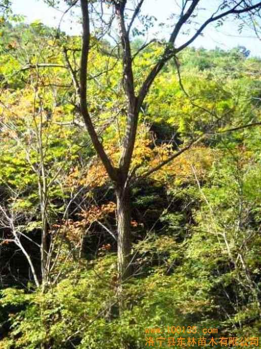 供应米径10-20公分核桃树(图)