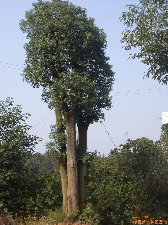 供应香樟树(图)