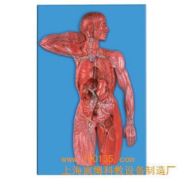 该模型显示淋巴系统的组成和结构特点